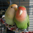 Baby Lovebird Love