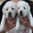 Labrador puppies being born