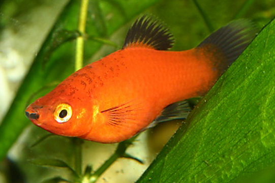 Pregnant platy fish tank for Pregnancy and fish