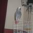 my talking pet african grey parrot
