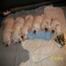KTL Lab puppy cam-Sasha