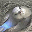 Bluebird Nest Box Cam