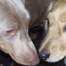 KRZ Mini Dachshunds ~puppies