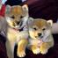 Shiba Inu Puppies Calgary