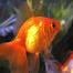 CPH Fish