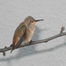 Hummingbird Nest Cam 1/23/12 05:21AM PST