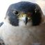 Dakota falcons