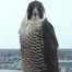 UWO Peregrine Falcons 04/15/11 10:53AM