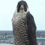 UWO Peregrine Falcons