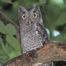 Hoot 'n Annie Screech Owls - Austin
