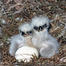 3rd Egg Pipped & 2 Eaglets Fed View, 5-7-12 , 8:28 pm EST, Indy & Franklin