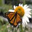 Monarch Monocle