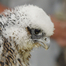Rapid City Peregrines