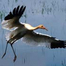 Operation Migration Whooping Crane Cam December 19, 2011 7:30 PM