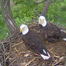 Eagles4kids Bald Eagles - Season 3