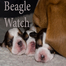 Bella Beagle at Bottle Time - Day 26