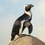 African Penguins 2/27/12 12:36AM PST