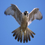 Young Falcon Visit Feb 24 AM