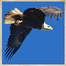 Gladys Black Eagle Cam March 2, 2012 5:15 PM