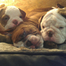 Bulldog puppy fights sleep, looks adorable while doing so