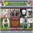 English Bulldog Puppies for Sale - Puppychase Kenn