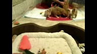 Human dad monitors play time with puppehs and kittehs
