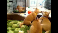 Just when you thought they couldn't get any cuter: Shiba Inu puppy kisses