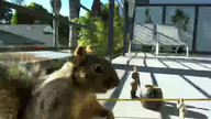 Squirrel nabs avocado from crime scene!