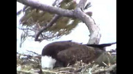 BRIeaglecam1: March24, 2011