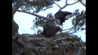 BRIeaglecam1: March 24, 2011_1838