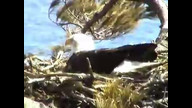 BRIeaglecam1:  March 25, 2011_1242