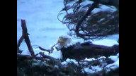 Nextera Maine Eagle Cam: April 1, 2011_1854