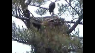 Nextera Maine Eaglecam April 11, 2011