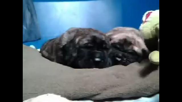 Brotherly love, mastiff style