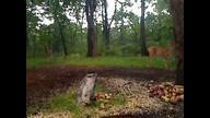deer snorting
