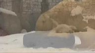 CUTE ALERT: Polar Bear Triplets at Moscow Zoo