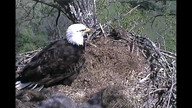 What two of the baby eagles get fed by a parent.  I have seen many birds being fed, but never a bird of prey (no, it is not gross).