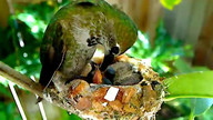 Emma the hummingbird feeds her tiny chicks