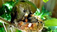 Emma the Hummingbird feeds Lucy & Ricky!