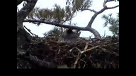 NextEra Maine Eaglecam1: May 4, 2012_0953