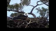 NextEra Maine Eaglecam1: May 8, 2012_1756