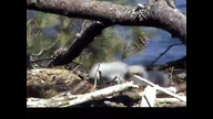 NextEra Maine Eaglecam: May 12, 2012_1527