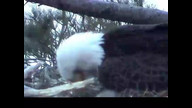 NextEra Maine eaglecam: May 13, 2012_1935