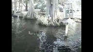 Skydiving Wood Ducks make a splash on Ustream