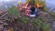 Loon And Chick At Sunset   June 3