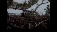 NextEra Maine Eaglecam: June5, 2012