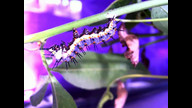 Caterpillar hangs 8-17-2012