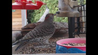 Flicker goes after small birds2
