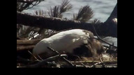 Brookfield Maine Eaglecam1: March 24, 2013_1007