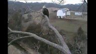 Mom eagle has been perched at the Y pripping yawning and looking around. Her day at the Y salon!